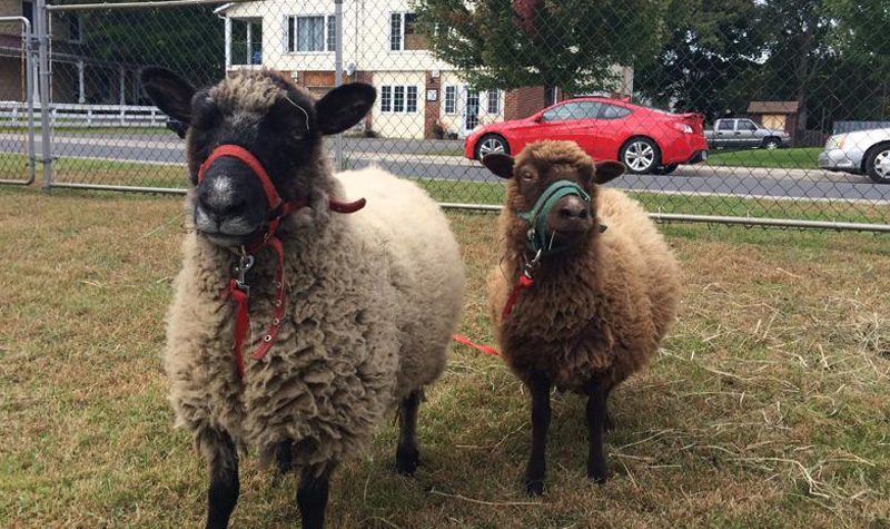 A pair of sheep are seen here during Streamway Villa's Sept. 27 petting zoo.