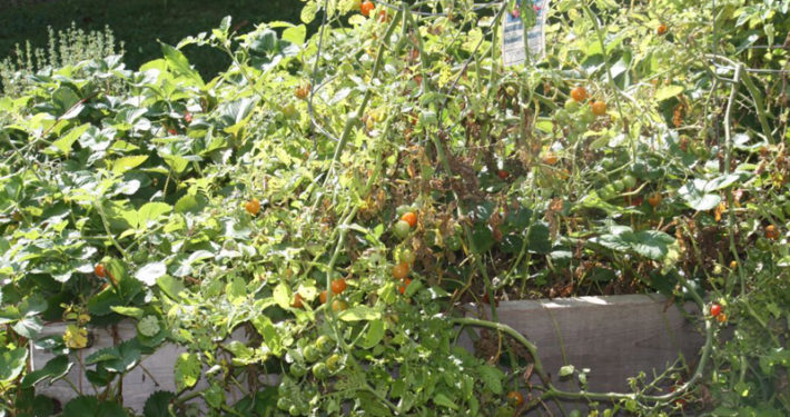 Pictured above are cherry tomatoes from Almonte Country Haven's garden.